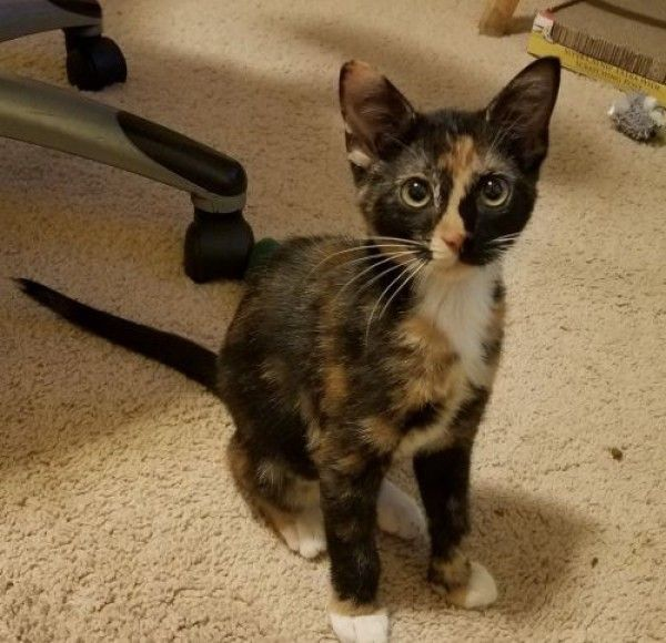 Calico Cat For Adoption In Littleton Colorado Audi In Littleton Colorado Cat Adoption Calico Cat Kittens Cutest