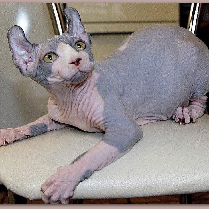 Если кот сфинкс похудел