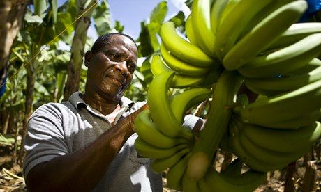 Banana production battered by market pressures – and the Caribbean weather