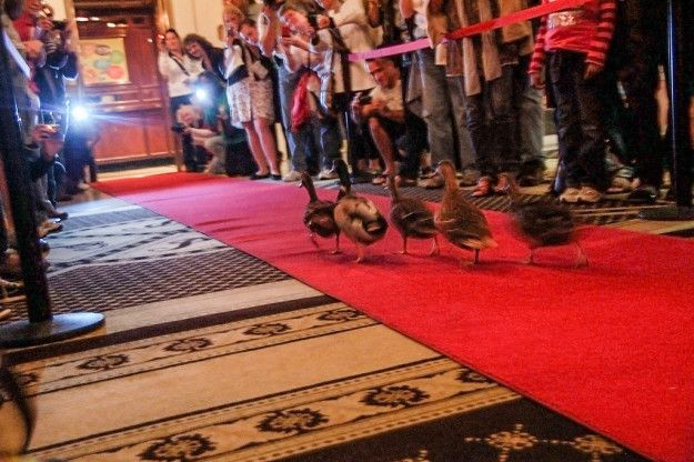 Duck March — Peabody Hotel, Memphis, Tennessee | 11 Bizarre Places In The US That You Need To Know About