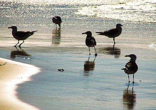 Gaivotas - à procura dos peixes / Seagulls - in search of fish