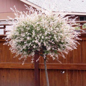 Salix Integra Hakuro Nishiki | Flamingo Willow Tree