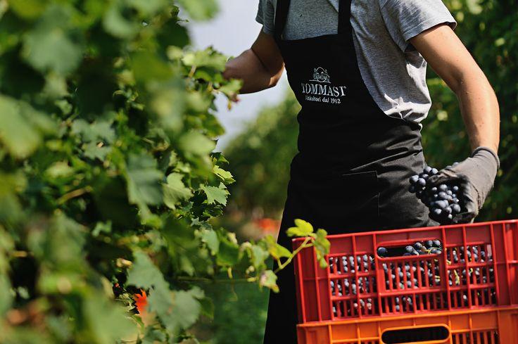 Harvest in Tommasi's vineyards