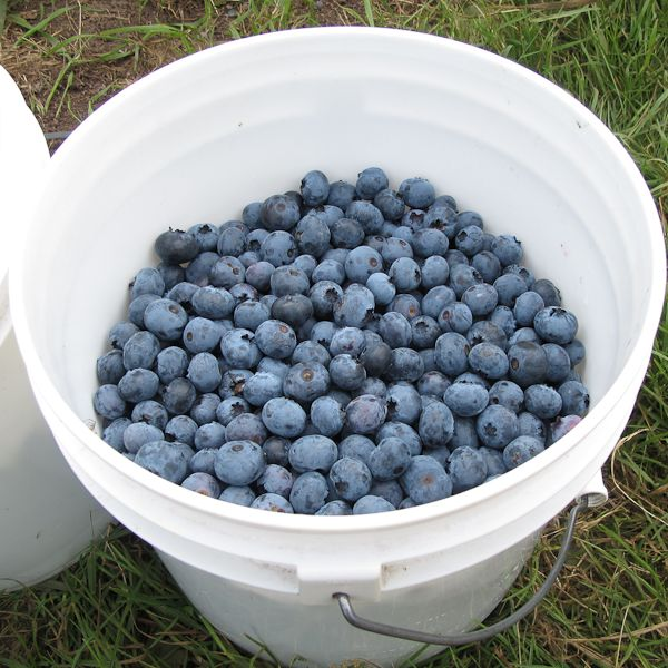 UPick - MountainView Blueberry Farm – Snohomish