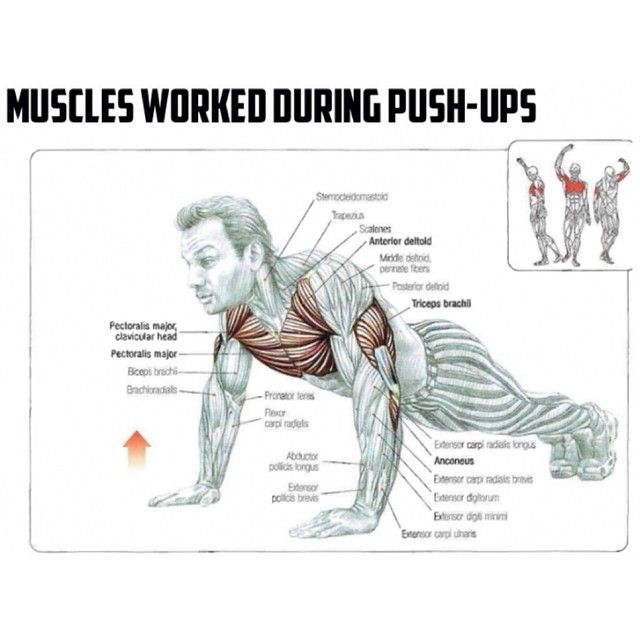 Push ups work which muscles pictures to pin on pinterest for Plank muscles worked diagram