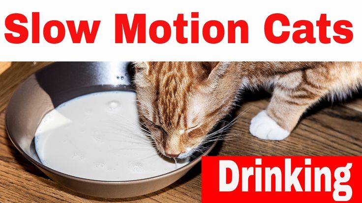 Slow Motion Cats Drinking And Eating Fish - 4K Video