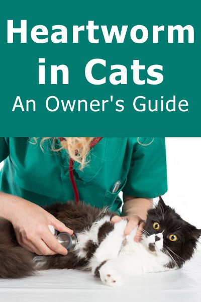 Heartworm In Cats An Owner S Guide Cat Care Tips Cats Cat Health Cat Care Tips