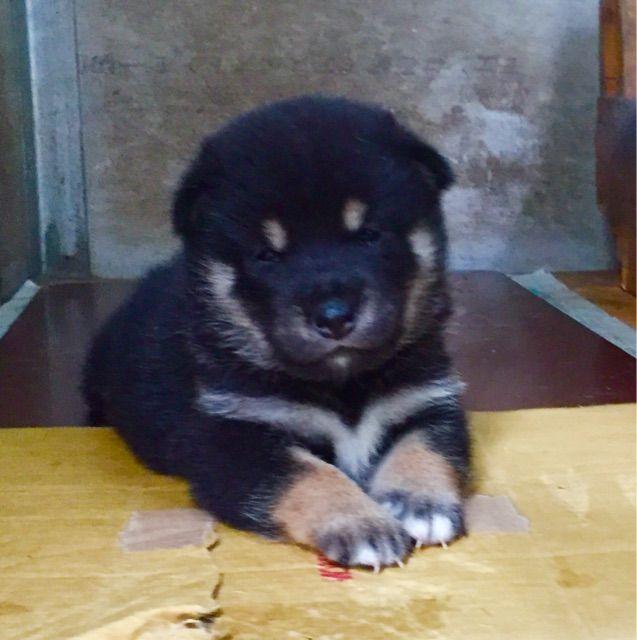 Cool Cuby Chubby Adorable Dog - b83201e332d31cdf4dfe40a2f99425f3--shiba-inu-black  2018_74276  .jpg