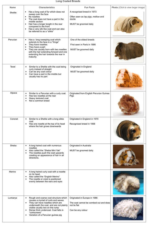 Guinea Pigs Australia - Guinea Pig Breeds