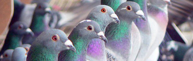 الحمام الزاجل - pigeon voyageur