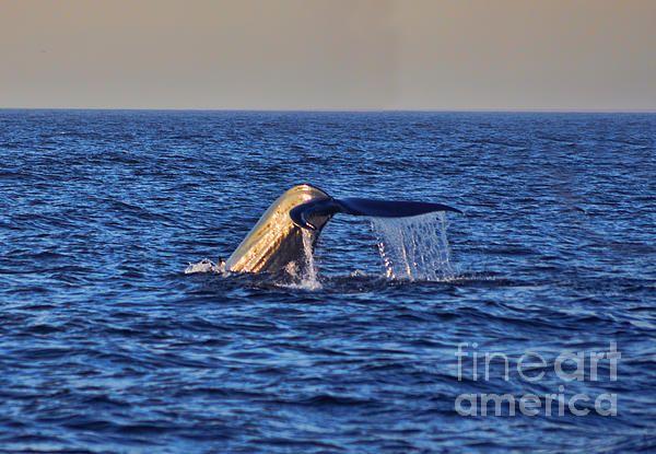Blue Whale, Whale Tail, Whale, Pacific Ocean, Newport Beach, California