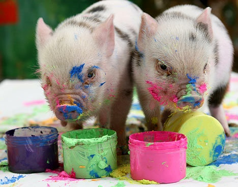micro pigs!!!! I want one so bad!