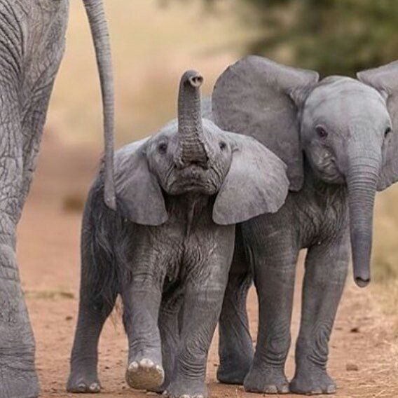 This photo made my day. .. @phantastic_phants -  Hold your trunk up high like this little guy!!  phenomenal photo creds to @carolewildlife For info about promoting your elephant art or crafts send me a direct message @elephant.gifts or emailelephantgifts@outlook.com  . Follow @elephant.gifts for inspiring elephant images and videos every day! . .  #elephant #elephants #elephantlove