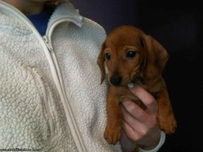 Dachshund Puppies For Adoption In Ny Dachshund Puppies Puppies