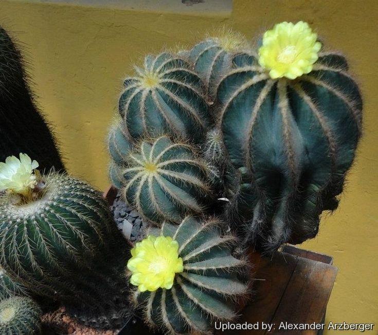 Cactus   Suculentas, Cactos e suculentas, Cactos