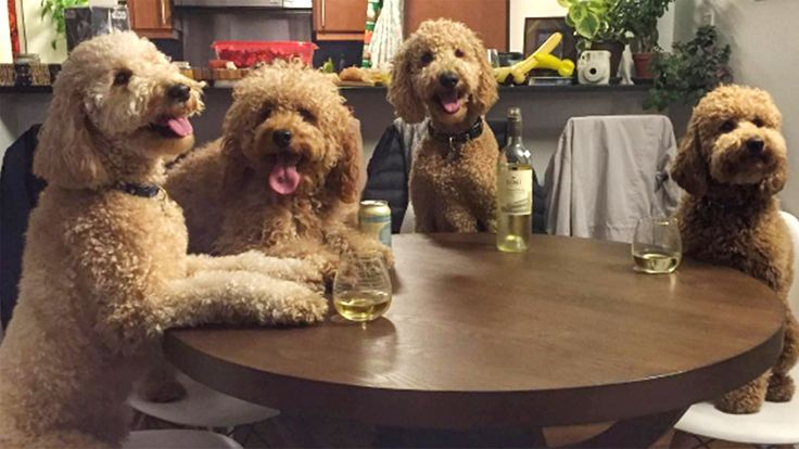 These goldendoodles are best friends — and lucky for us, they take a lot of pics - TODAY.com