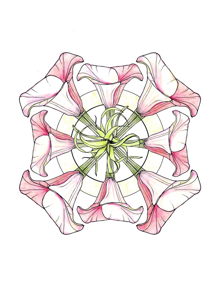 Line Drawing Of Lily Flower : Line drawing flowers lily mandala drawings pinterest