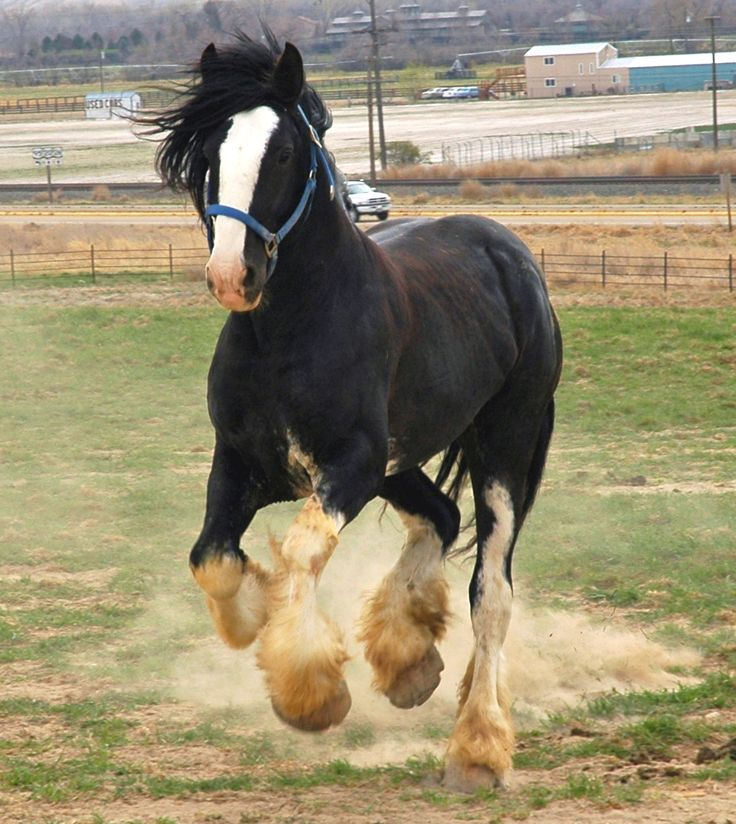 Black Shire Horse with sabino markings ...........click here to find out more http://googydog.com