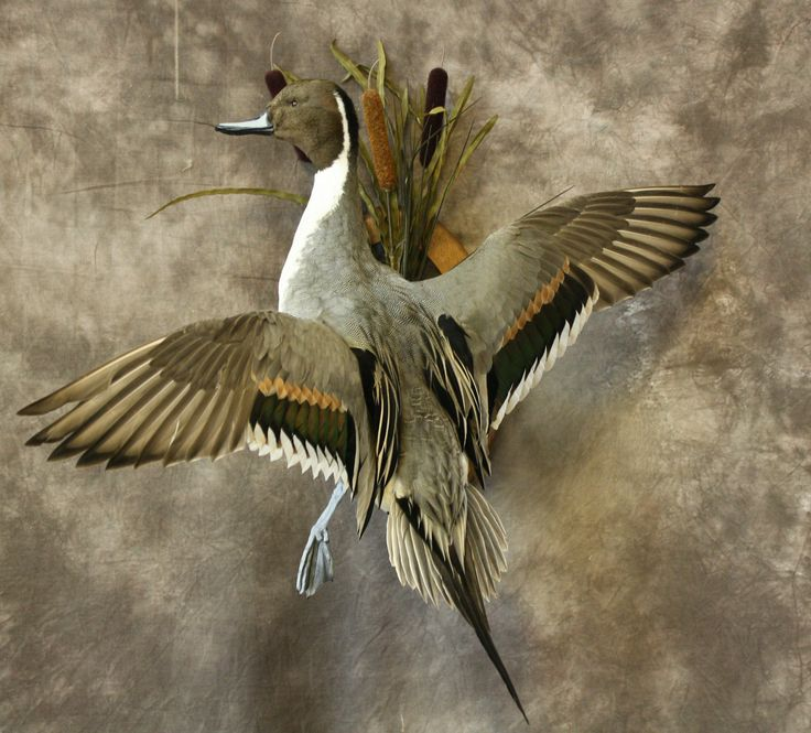 Northern pintail mount - photo#31