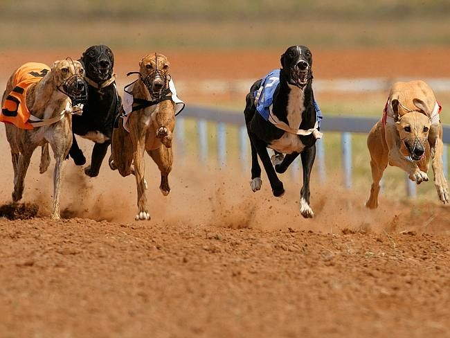 Racing rocked by grisly greyhound find