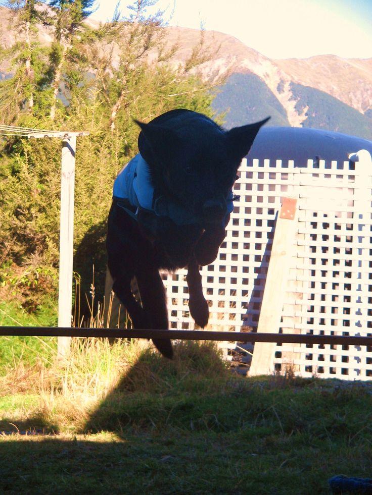 Australian Kelpie. Black. Shadow doing agility.