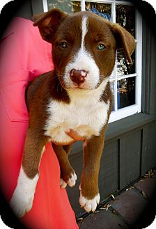 Cypress, CA - Husky/Pit Bull Terrier Mix. Meet Sadie a Puppy for Adoption.
