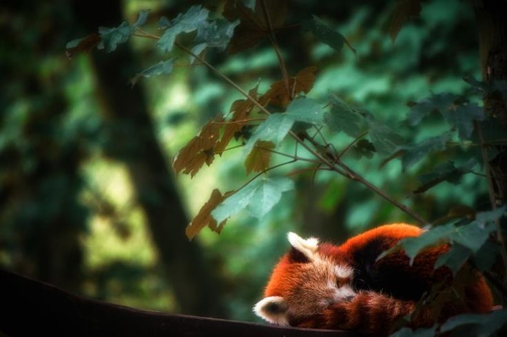 hey there little red panda!