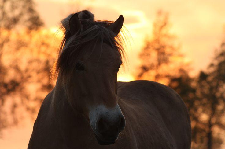 Marga in de ondergaande zon (fjordenpaard)
