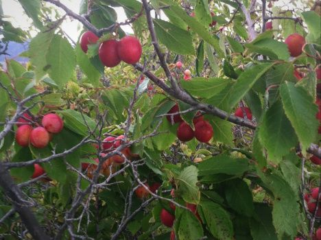 Prunus americana edible native american plum can be used for rootstock to graft other fruit - Graft plum tree tips ...