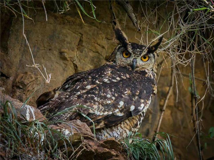 Cape Eagle Owl, Central Kenya