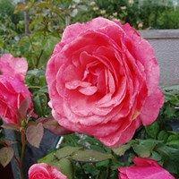 Sentimental, storblomstret rose
