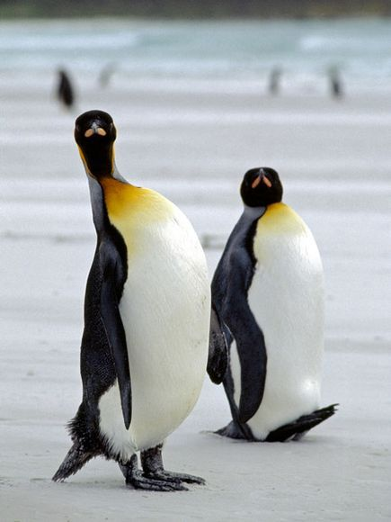King Penguins, King penguins' flippers are distinctively large, helping them dive deep in the icy ocean. On land, they waddle and toboggan across the ice—sliding on their bellies, and propelling themselves with their flippers.