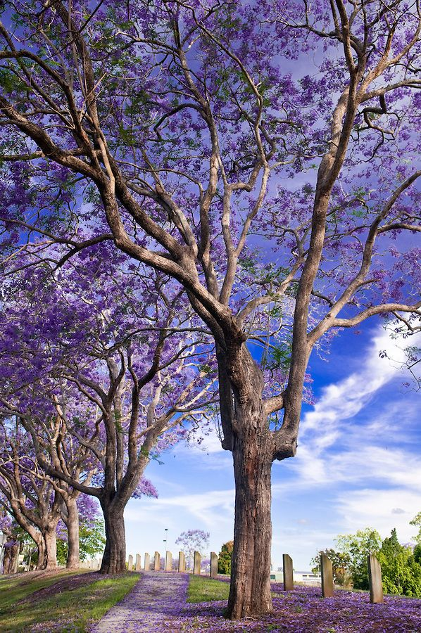 St Lucia is full of Jacaranda Trees which bloom in Spring, #Brisbane, #Queensland, #Australia