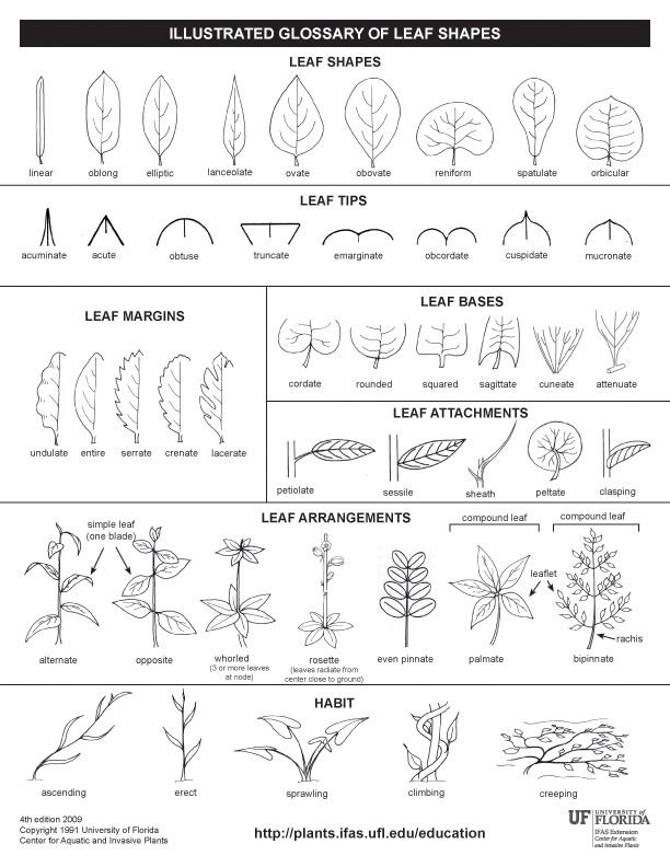 tree Leaf shape identification guide