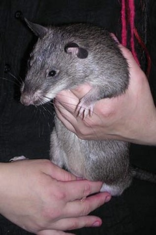 This is a Gambian Pouched Rat. Isn't he cute!? This is the largest rat in the world, they can grow to be 3 feet long and weigh as much as 9 pounds! I want one!