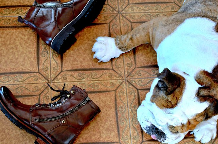 sleeping bulldog and leather shoes  our sleeping beauty ❤️️ #ettore #niconerini