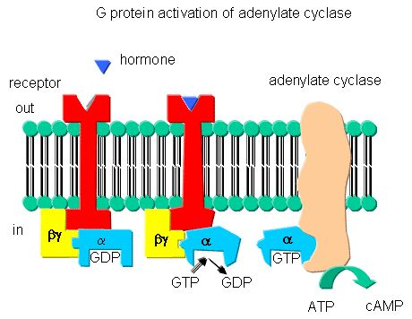 TJ. Adenylate Cyclase An enzyme that catalyses ATP to form 3',5'-cyclic AMP and inorganic pyrophosphate. G proteins dissociate into GTP-bound alpha subunits—activating adenylyl cyclase, retinal phosphodiesterase, phospholipase C, and ion channels—and a complex of beta and gamma subunits, selectively activating certain forms of adenylate cyclase following interaction with the cell receptors. Adenylate cyclase is intimately linked to the receptor-G protein machinery on the cytoplasmic face of…