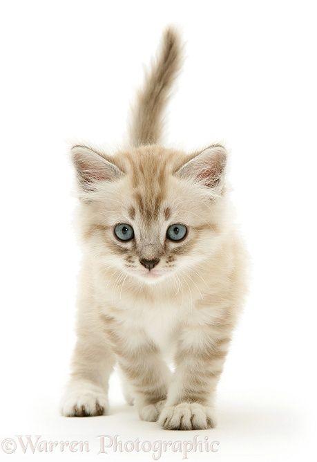 Birman-cross kitten