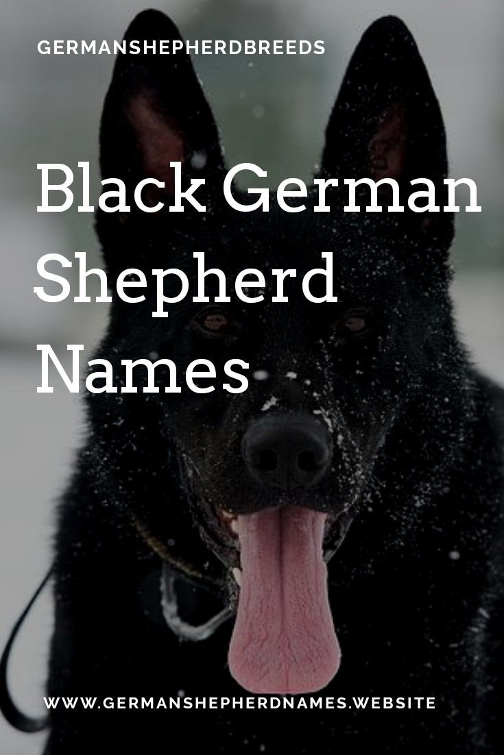 German Shepherd Is The Famous Breed Among Dogs And Black German