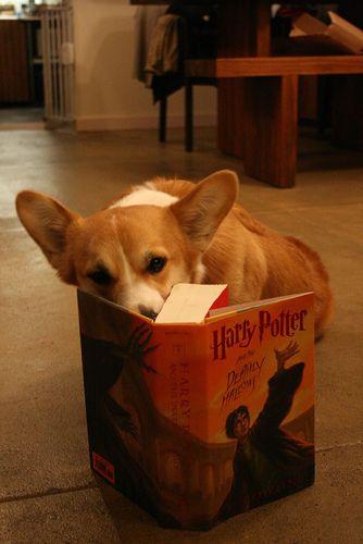 Harry Potter Fan Corgi