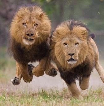 "Two Male Lions:  1st Lion: ""I'll Race You to The Wildlife Photographer!""  2nd Lion replies: ""I Bet I Reach Him First!"""