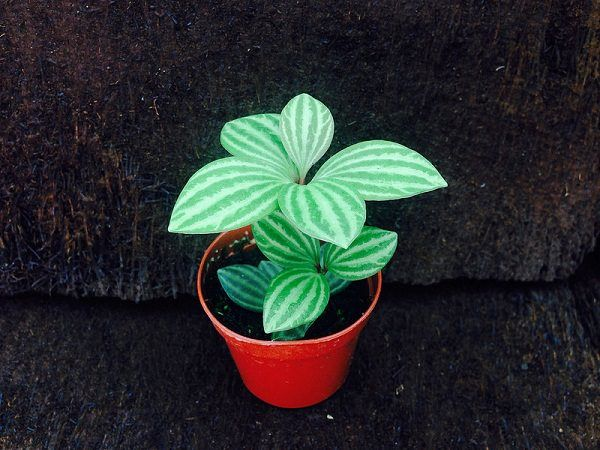 Peperomia_puteolata is small striking adorable houseplant that grows up to only 6 inches tall. Due to its thick foliage, it is often considered as succulent, which is not true.  Peperomia likes slightly moist soil and humidity but watering should be reduced in winter. Spraying the plant's leaves is helpful in maintaining the humidity level.