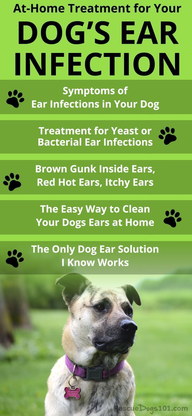 Mites Yeast Dog Ear Infection Picture