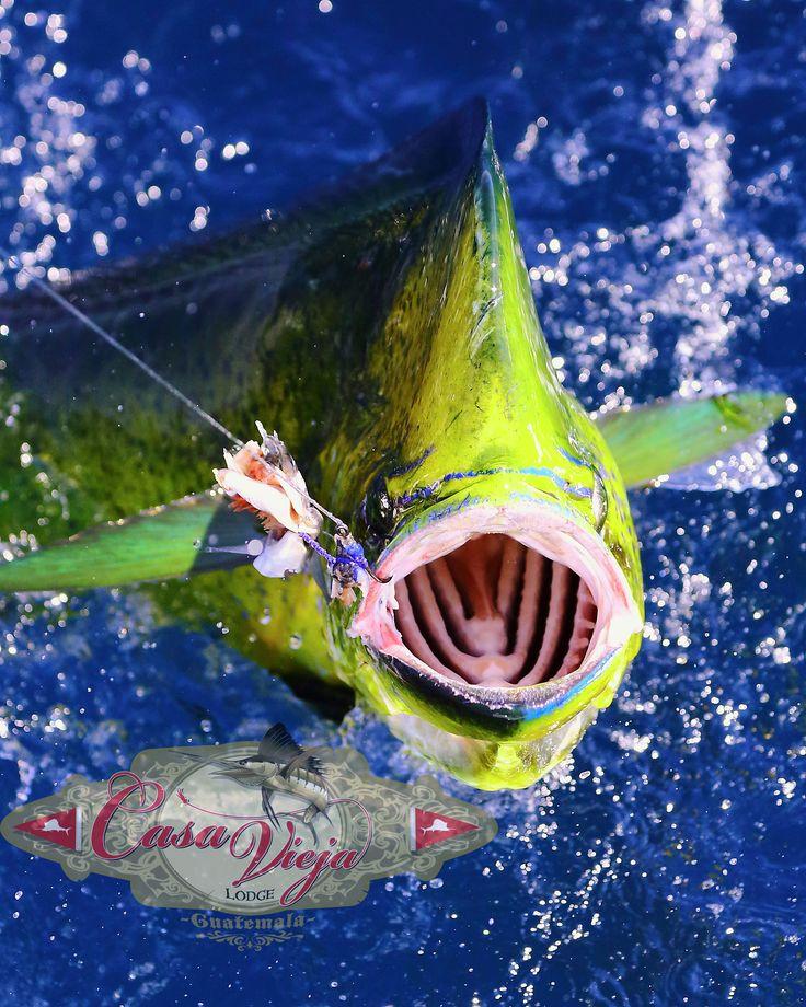 Sick Mahimahi Photo! Charter Boat, Fishing Lodge, Offshore fishing, Deep sea adventure