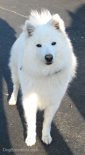American Eskimo Full-Grown .