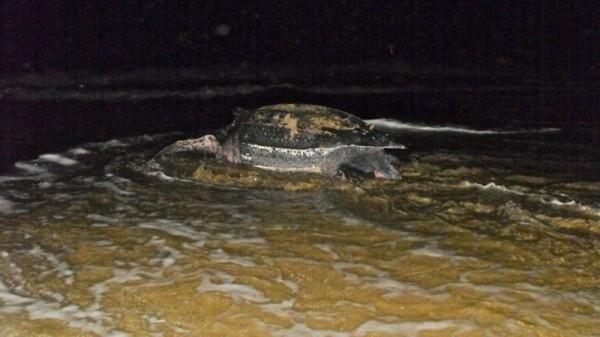 El Capítulo Estudiantil de la Sociedad Ambiente Marino (CESAM) fue notificado sobre la presencia del tinglar en la playa de Ocean Park en la madrugada de ayer miércoles. Foto vía CESAM.