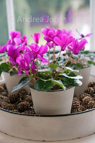 Isänpäivän astelma. Garden Exposures Photo Library