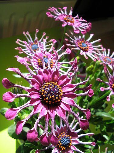 Een bijzondere 'Spaanse Margriet' (Osteospermum Ecklonis).