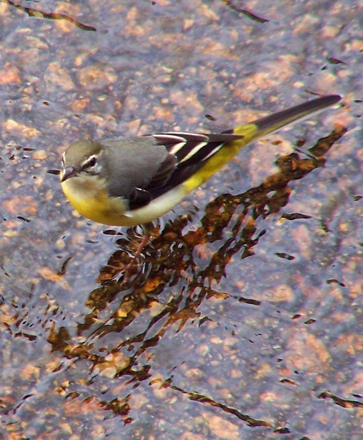 Grey Wagtail - (Motacilla cinerea) found through out the Canaries.
