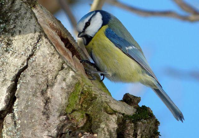 NAŠE ZAHRADY: Užiteční ptáci naší zahrady. Sýkorka na stromě s d...